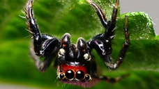 A study conducted by researchers at the University of Canterbury in New Zealand has highlighted a pair of unlikely recruits in the battle against human malaria – two species of spider.