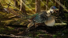 """If the original """"Jurassic Park"""" film was made today, its velociraptors may have had feathers. A study from the the University of Edinburgh reveals that fossils of a new dinosaur dubbed Zhenyuanlong suni — a close cousin of the iconic raptor — were recently discovered in China. Unlike its movie star relative, this dinosaur had feathers and wings."""