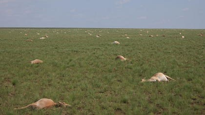 It started in late May. When geoecologist Steffen Zuther and his colleagues arrived in central Kazakhstan to monitor the calving of one herd of saigas, a critically endangered, steppe-dwelling antelope, veterinarians in the area had already reported dead animals on the ground.