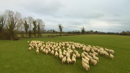 Irish farmer Declan Brennan has found the most unlikely kind of sheepdog – a drone. Brennan operated a Yuneec Q drone to herd his flock of sheep at Herondale, his Carlow, Ireland farm. In a YouTube video posted by Brennan's brother Paul – who runs Skyfly Photography, which provides drone-shot aerial videos – viewers can get a bird's-eye view of the flock being ushered around the lush farmland by the drone.