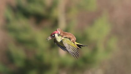 While it might not have caused the same kind of a commotion as a certain dress, one image showing an unlikely animal pair certainly went viral Tuesday. A photograph taken by an amateur Essex, U.K.-based photographer that shows a weasel riding on the back of a woodpecker in flight made the Internet rounds, inspiring countless tweets and memes.