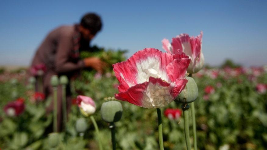 OpiumPoppy.jpg