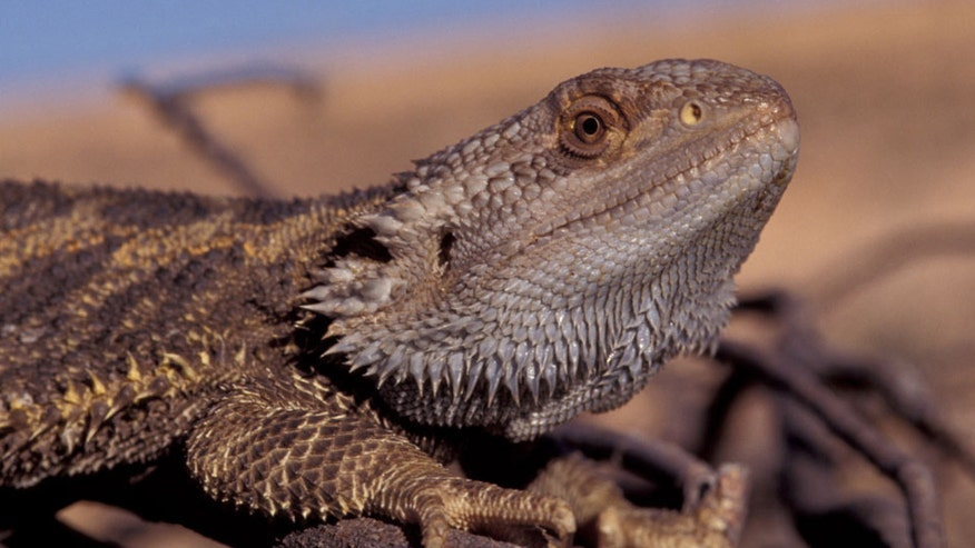 High temperatures make some lizards change sexes