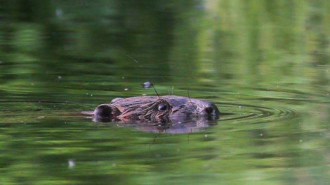 Fisherman dies as increasingly aggressive beavers attack people in Belarus