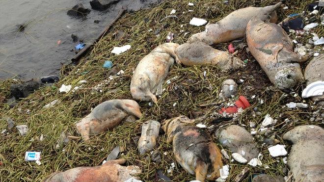 China Dead Pigs_Leff.jpg