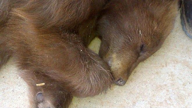 bearcubsleeps.JPG