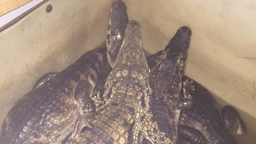 Zoo discovers 150 alligators, crocodiles living in Toronto home
