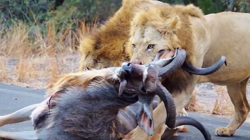 Lion makes a stunning kill in front of shocked tourists