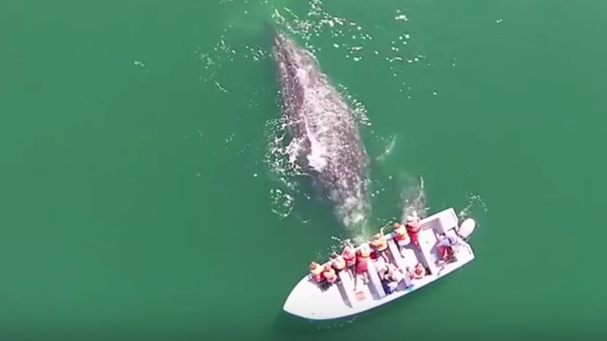 Tourists get rare chance to pet gray whale and her calf