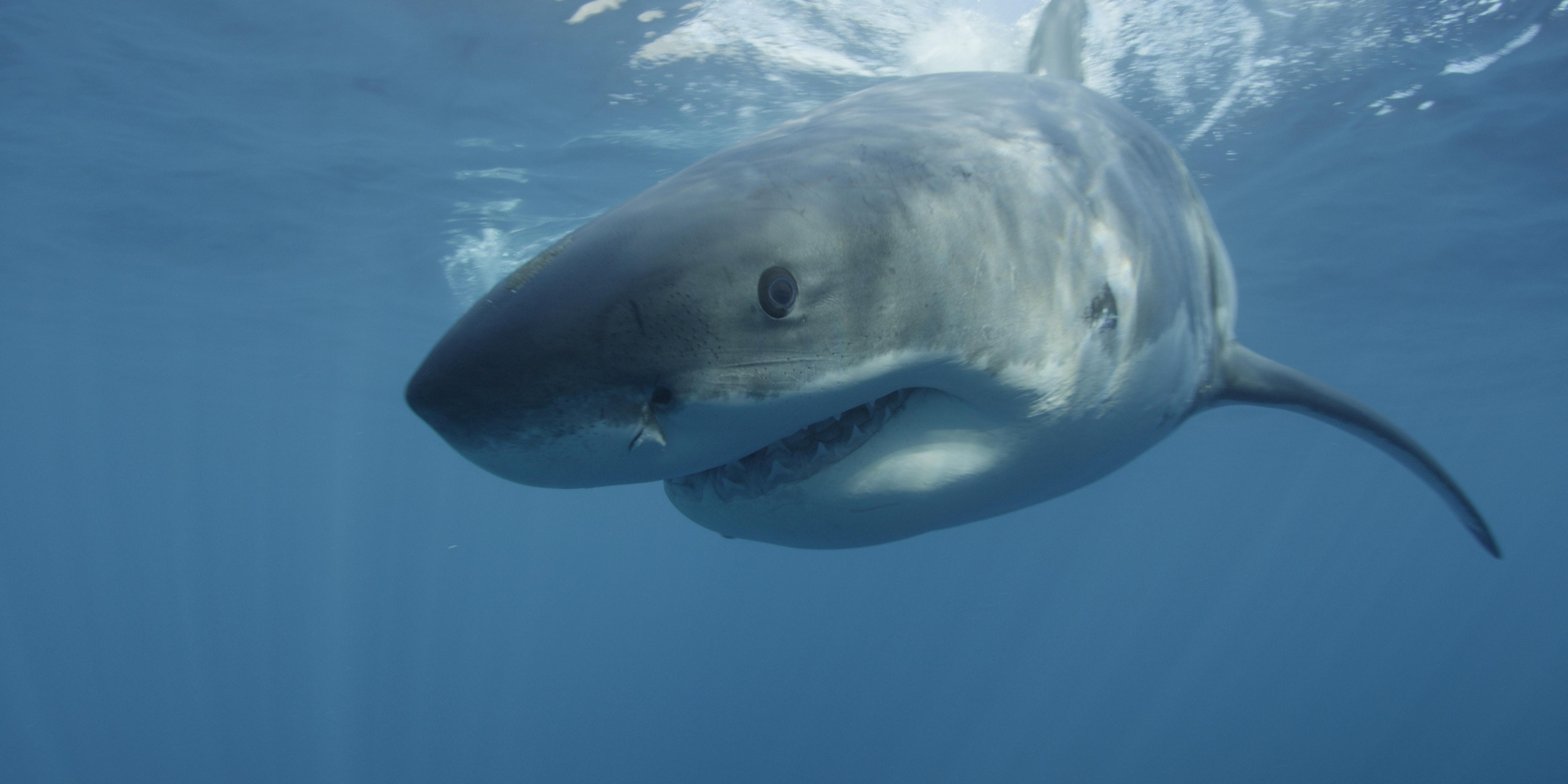 Megalodon Shark Sightings