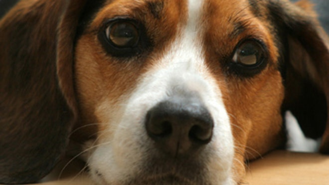 Dog face iStock