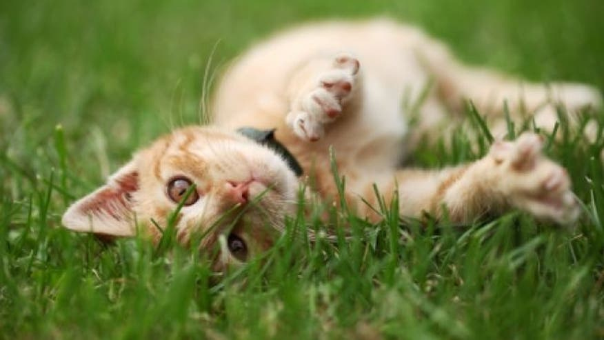 Can Dogs Get Toxoplasmosis From Eating Cat Feces
