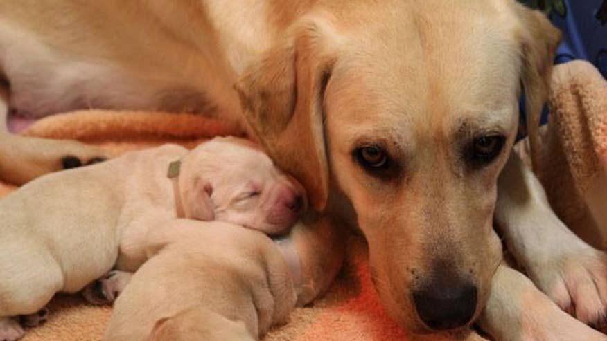 Sandy forces seeing-eye dogs to give birth in dark | Fox News