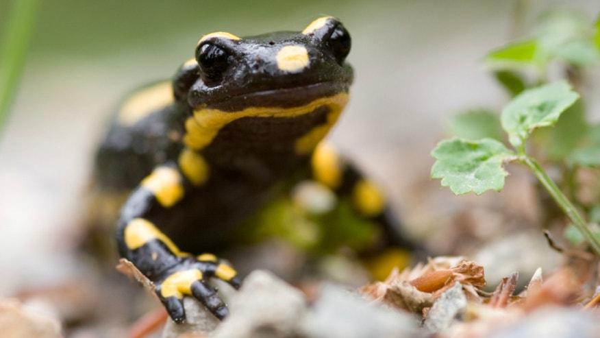Salamander istock.jpg