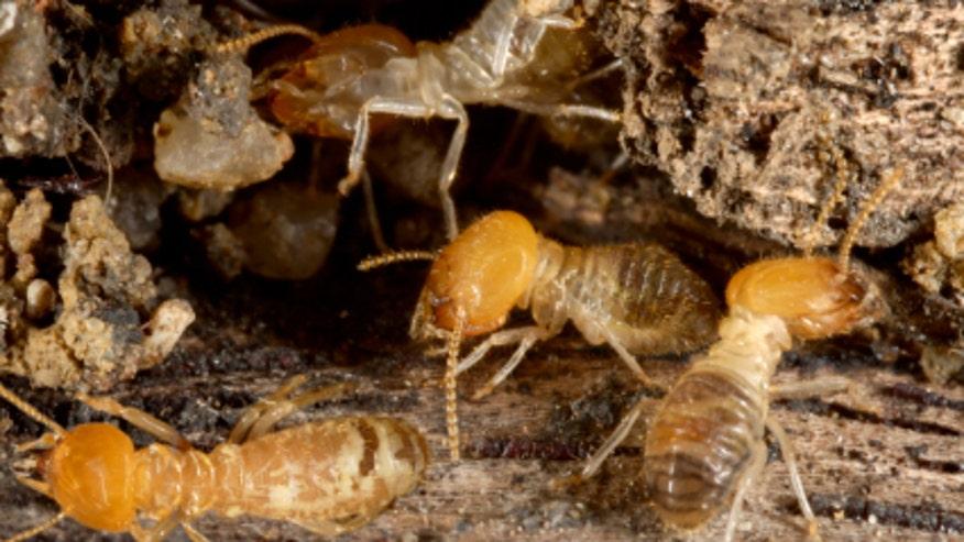 termites660.jpg