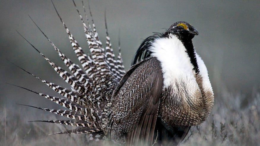 grouse_bird.jpg