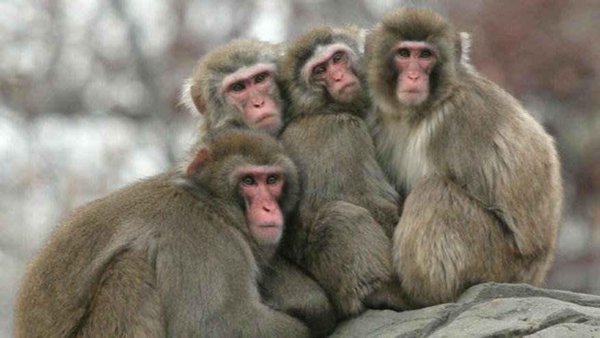 snow monkeys_AP_660.jpg