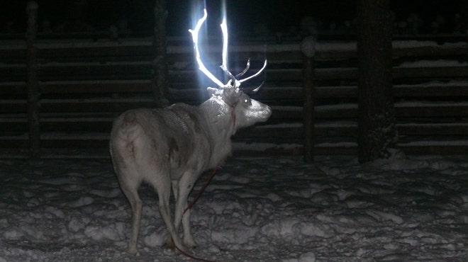 Reindeer get 'glowing' antler makeover in Finland