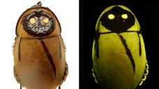 A glowing cockroach, a monkey with a blue behind and a meat-eating sponge snagged spots on a list of top  new species named in , scientists announced Thursday.