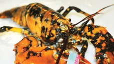 A fisherman has caught a rare lobster that's bright orange with dark blue spots.