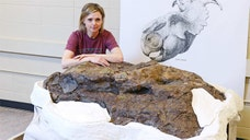 The nearly complete skull of a horned dinosaur well over  feet in length was discovered in the Alberta Badlands, scientists announced Thursday.