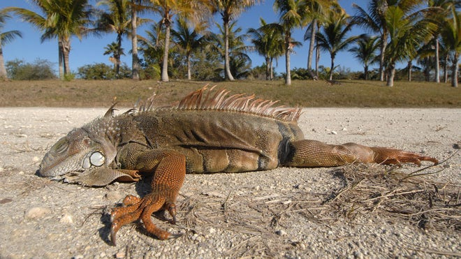 That's One Chilly Iguana