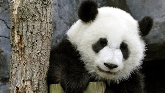 China Pandas Return