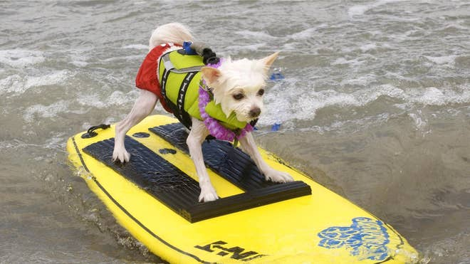 Loews Surf Dog Bobby