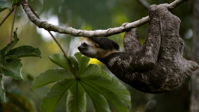 Sloths' dirty bum fur grows nutritious algae