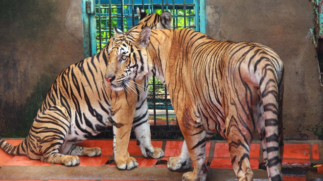 Vietnam Tiger Farms.jpg