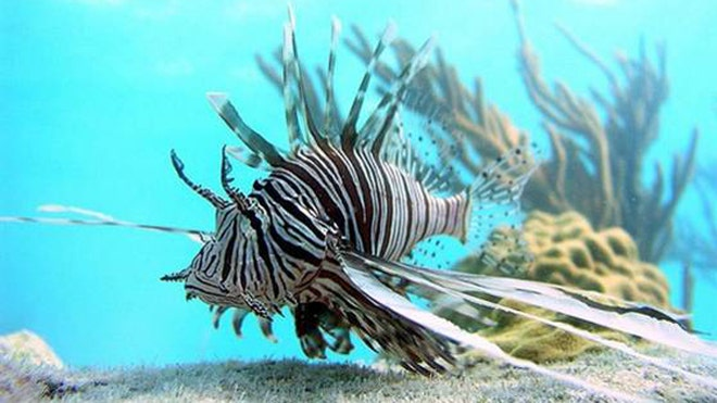 Lionfish found at sunken ship 300 feet below water's surface wreaking havoc
