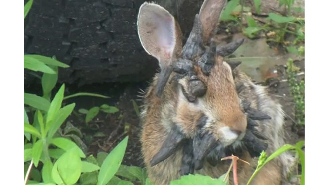 College student captures 'world's scariest rabbit' in video a viral hit