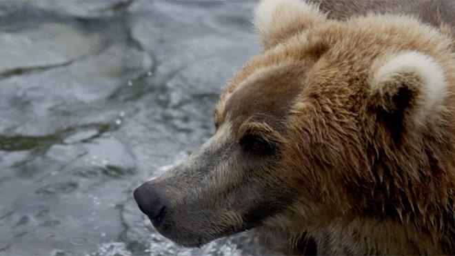 Webcams offer glimpse into lives of Alaska's famed Katmai brown bears