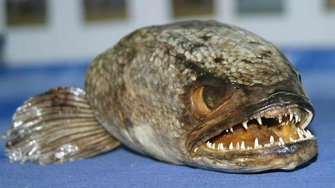 Possible invasion of air-breathing, predatory fish has NYC officials on alert