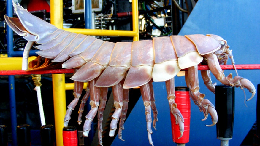 Giant Isopods Are Important