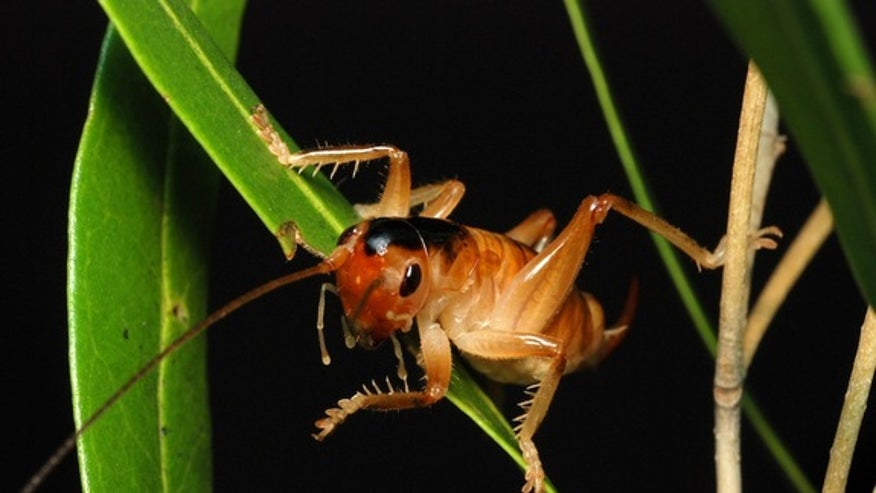 Pollinating Cricket