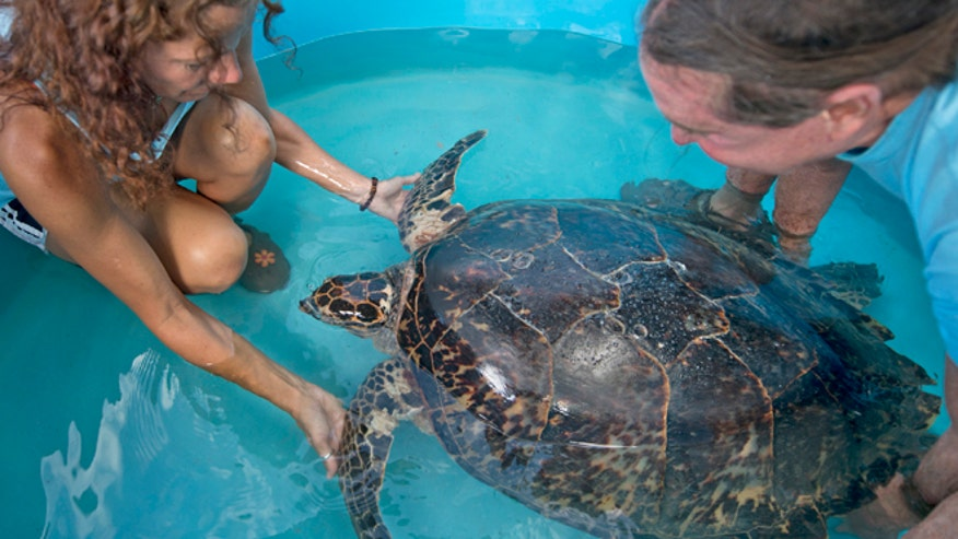Aquarium Releases 655 Pound Sea Turtle In Waters Off Cape