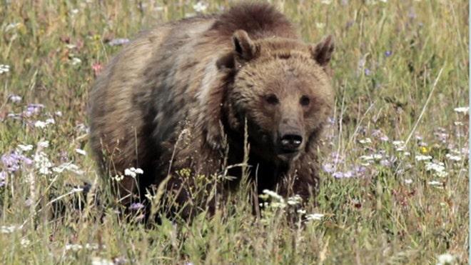 Pengembara mati dibaham beruang di Taman Negara Denali