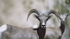 State wildlife officials say the deaths of more than a dozen bighorn sheep relocated to the Catalina Mountains north of Tucson does not mean the project is a failure.