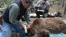 An ongoing study that has eight Montana grizzly bears outfitted with GPS trackers could bring some unnerving news to hunters.