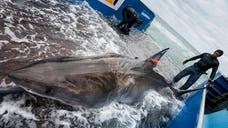 A great white shark named Lydia is now the first known shark to swim from one side of the Atlantic Ocean to the other.