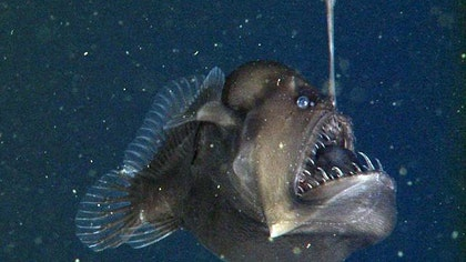 A research team conducting a dive in Monterey Bay off the coast of California have captured first-ever video of a rarely-seen denizen of the deep called the black seadevil.