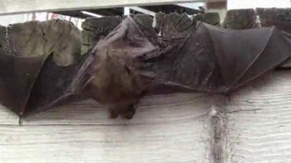 A rescue organization says it is receiving an unusually high number of reports of dead or dying bats at this time of year as drought conditions grip Northern California.