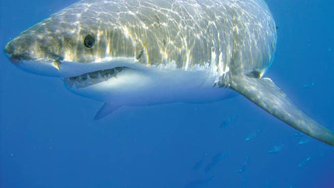 great whites off cape cod.jpg