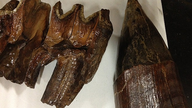 Mastodon tooth found in donation box at Michigan charity