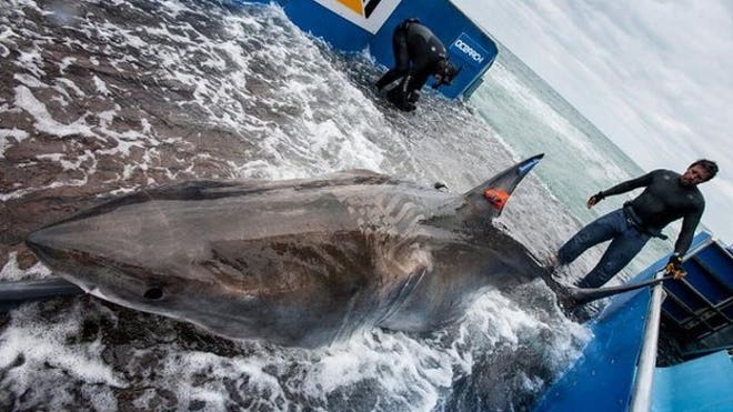 Great white shark tracked across Atlantic for first time, researchers say