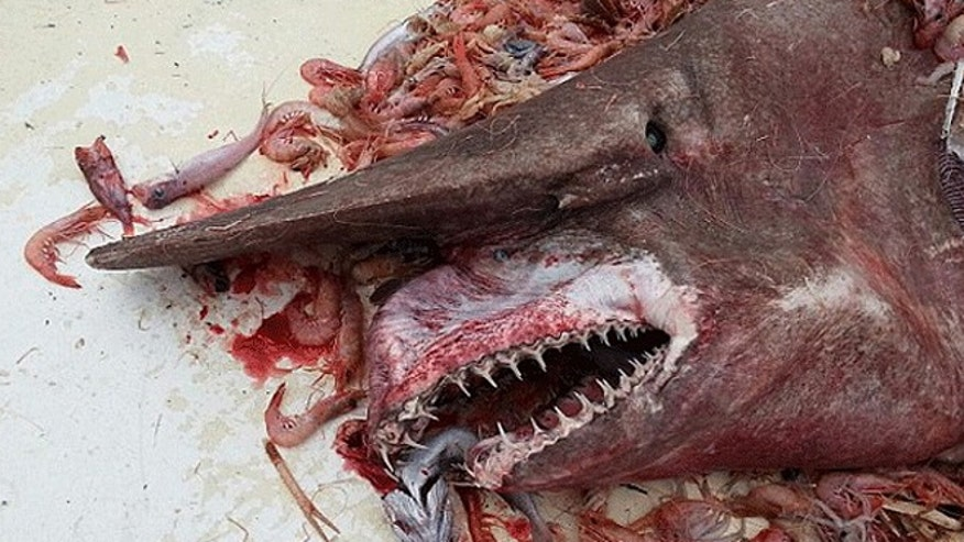 Rare goblin shark reportedly caught off Key West