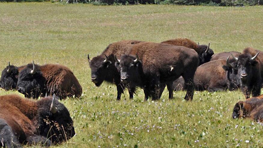 bison_az.jpg