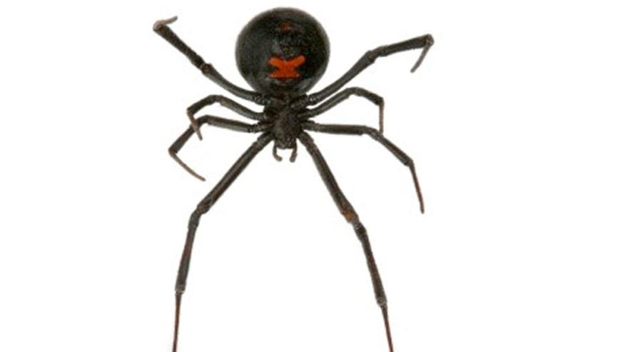 black_widow_spider_istock.jpg