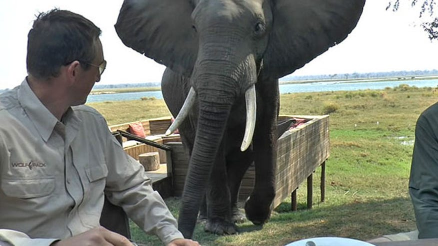 Bull elephant at Zimbabwe park crashes lunch party